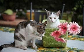 Картинка цветы, котята, герберы, © Elena Di Guardo
