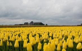Картинка дом, поля, тюльпаны, house, field, tulips, farm, фермы