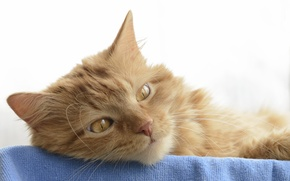 Картинка кошка, глаза, кот, взгляд, морда, ткань
