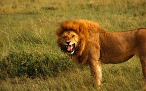 Обои царь, пасть, грива, Лев, рычит