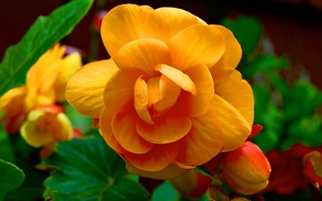 Картинка цветок, листья, лепестки, бутон
