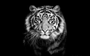 Картинка тигр, черно-белое, хищник, крупным планом, черный фон