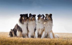 Картинка поле, колли, австралийская овчарка, Best Friends