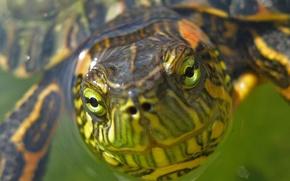 Картинка зеленый, черепаха, Морда