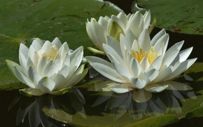 Картинка макро, водяные лилии, вода, лепестки, трио, белый, нимфея