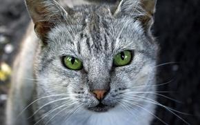 Картинка кошка, глаза, зеленые, серая