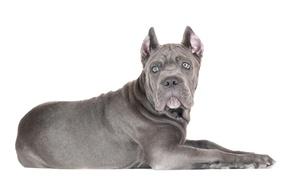 Картинка взгляд, собака, щенок, белый фон, кане корсо