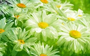 Картинка трава, листья, цветы, свежесть, green, ромашки, красота, весна, размытость, луг, прозрачные, white, grass, белые, flowers, …