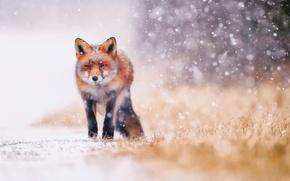 Картинка лис, лиса, снег, зима