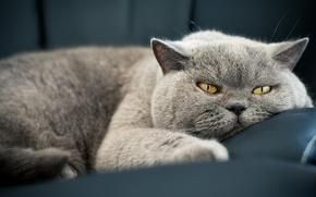 Картинка кошка, глаза, кот, серый, диван, отдых, портрет, устал, лежит, шикарно, мордаха, британский, лень, красавец, сытый, …