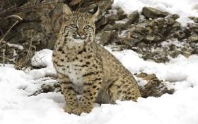 Обои Рысь, большая кошка, снег, зима