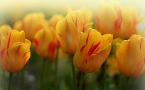 Картинка макро, тюльпаны, бутоны, боке, жёлтые тюльпаны