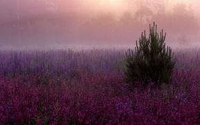 Картинка цветы, туман, елка, красота, фиолетовые, Поляна, дымка, розовые, сиреневые