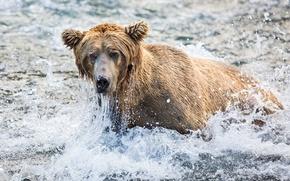 Картинка морда, брызги, рыбалка, медведь, гризли