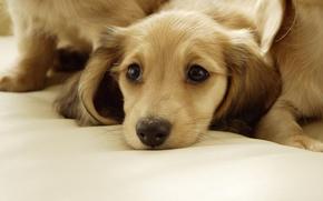 Картинка взгляд, собака, пес, щенок, лежит, бежевый