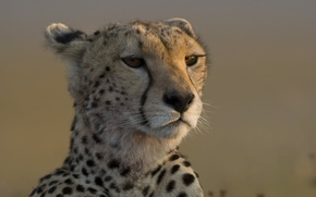 Обои леопард, взгляд, морда