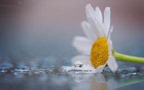Картинка белый, цветок, вода, макро, цветы, желтый, роса, фон, widescreen, обои, капля, лепестки, ромашка, wallpaper, цветочки, ...