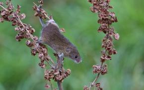 Обои мышь, ветка, сухие, рыжая, полевка, листья