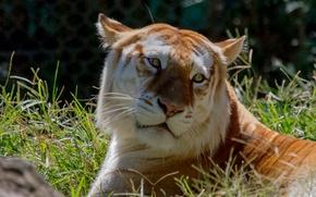 Обои кошка, взгляд, золотой тигр, морда, трава