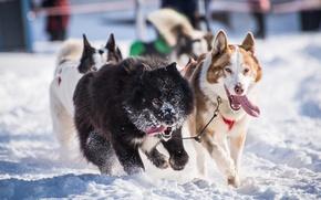 Картинка зима, собаки, снег, упряжка, хаски