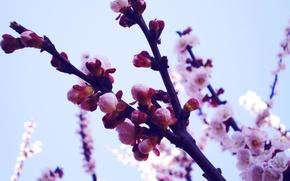 Картинка цветы, макро, фон, растения, природа, бутоны, обои, лепестки, сакура, фото, ветки, весна