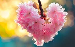 Картинка макро, вишня, сердце, ветка, сакура, цветение, цветки
