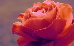 Картинка макро, нежность, роза, флора