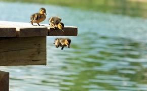 Картинка утки, пирс, маленькие, прыжки