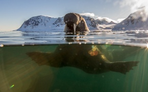Картинка море, блики, морж