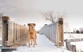Картинка зима, снег, Gold, Silver, рыжая собака