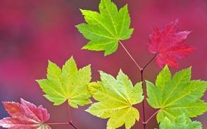 Картинка осень, листья, цвет, ветка, клен