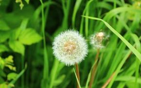 Картинка трава, одуванчик, ярко