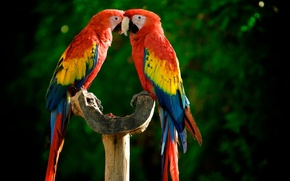 Картинка птицы, птица, попугай, bird, parrot, ара
