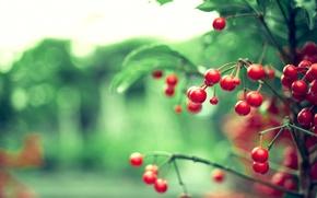 Картинка листья, цвета, природа, блики, ягоды, фон, обои, ветка, размытость, красные, ветвь, боке