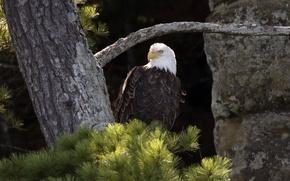 Картинка looking, bald eagle, hunting