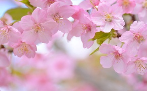 Обои цветки, макро, сакура, вишня, цветение, весна