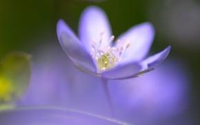 Картинка Цветок, синий, один, фокус, серединка, розмытость