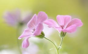 Картинка цветы, фон, розовые