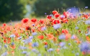 Картинка поле, лето, свет, цветы, природа, размытость, Маки, васильки