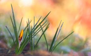 Картинка капли, желтый, роса, весна, крокус
