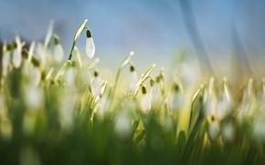 Картинка трава, макро, цветы, фон, голубой, весна, размытость, белые, Подснежники, галантусы