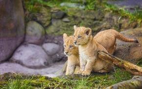 Картинка котята, малыши, львята, двойняшки