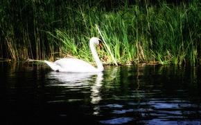 Картинка трава, вода, озеро, отражение, лебедь, кувшинки