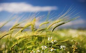 Картинка поле, ветер, ромашки, Лето, колоски
