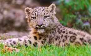 Обои лежит, snow leopard, ирбис, снежный барс, котёнок, морда, смотрит