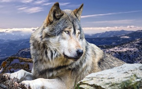 Картинка животные, горы, природа, волк, хищник