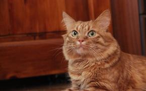 Картинка глаза, кошки, Кот, мордашка, Афанасий