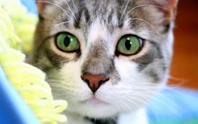 Обои внимательный, взгляд, мордочка, Кот, зеленые глаза
