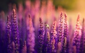 Обои лаванда, цветы, сиреневые, поле, пчела