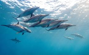 Картинка вода, океан, стая, Гаваи, James R.D. Scott Photography, малоголовый продельфин, тропический дельфин, длинноносый дельфин, длиноклювая …
